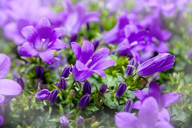 Blue-purple Bellflower