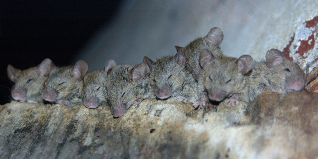 London's Mice Problem: Has Everyone In The City Had These Little Critters In Their House?