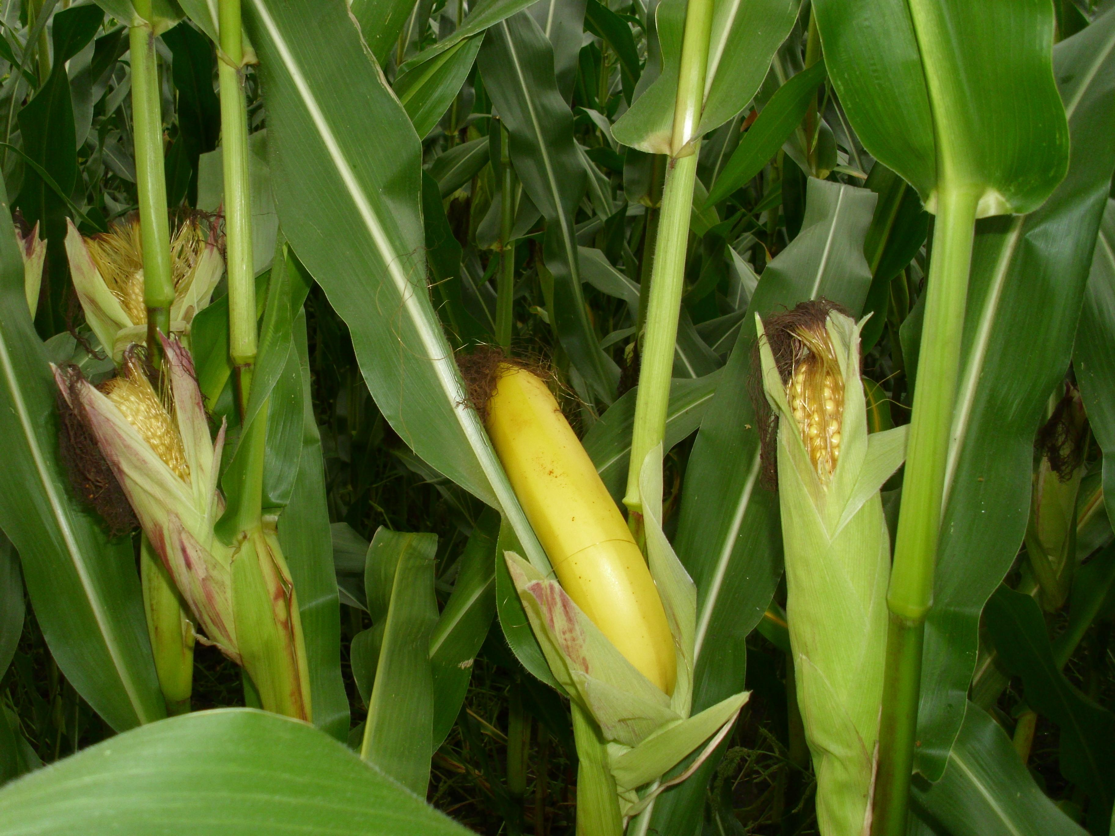 Why Corn Ethanol is Bad for the Environment