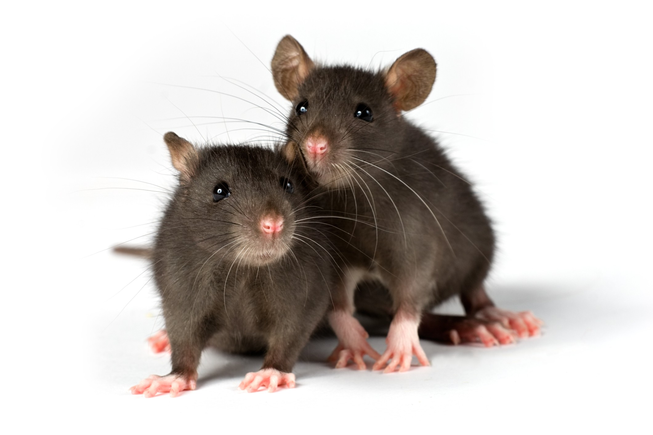 Rats - pest control