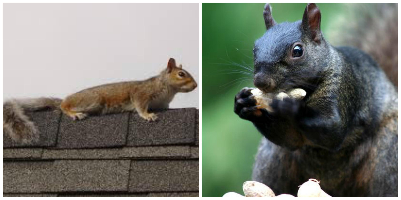 Squirrel - pest control