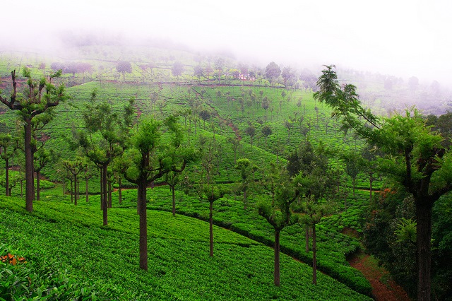 Yercaud – A Wistful Town In Tamil Nadu Consisting Miles Long Estates Of Coffee and Tea
