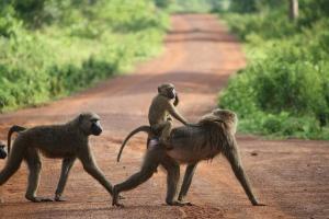 Ghana monkeys
