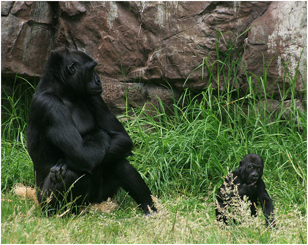 Gorilla Conservation - What Are The Current Initiatives?