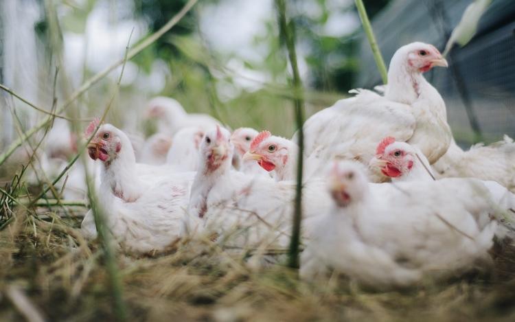 chicken-4474176_1280